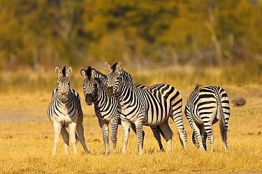 Burchell's Zebra (Equus quagga) herd, Hwange National Park, Zimbabwe  -  Winfried Wisniewski