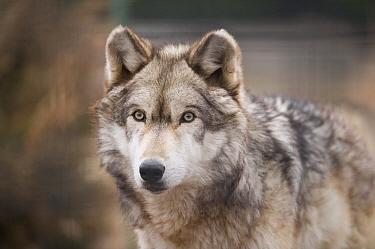 Gray Wolf (Canis lupus), Salina, Kansas  -  Joel Sartore/ NatGeo Image Col.