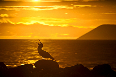 Blue-footed Booby (Sula nebouxii) at sunset, North Seymour Island, Galapagos Islands, Ecuador  -  Michael Melford/ NatGeo Image Col.