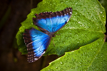 Blue Morpho (Morpho peleides) butterfly, Victoria, British Columbia, Canada  -  Taylor S. Kennedy/ NatGeo Image Col.