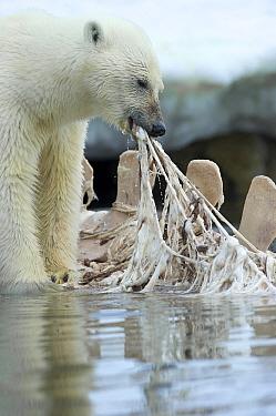 Polar Bear (Ursus maritimus) feeding on Dwarf Minke Whale (Balaenoptera acutorostrata) carcass, Holmabukta, Svalbard, Norway  -  Keenpress/ NatGeo Image Col.