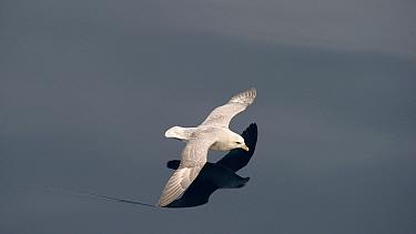 Northern Fulmar (Fulmarus glacialis) gliding over ocean, Svlabard, Norway  -  Keenpress/ NatGeo Image Col.