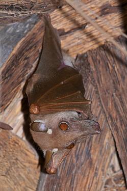Gambian Epauletted Fruit Bat (Epomophorus gambianus), Makasutu Cultural Forest, Banjul, Gambia  -  Roland Seitre
