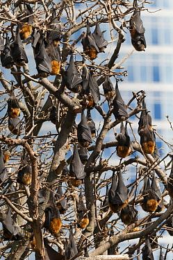 Gray-headed Flying Fox (Pteropus poliocephalus) hanging colony, Royal Botanic Gardens, Sydney, New South Wales, Australia  -  Roland Seitre
