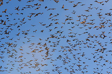 Gray-headed Flying Fox (Pteropus poliocephalus) group flying, Grafton, New South Wales, Australia  -  Roland Seitre