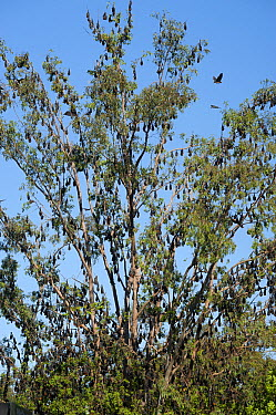 Gray-headed Flying Fox (Pteropus poliocephalus) colony roosting, Grafton, New South Wales, Australia  -  Roland Seitre