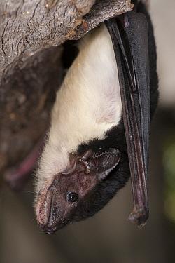 Yellow-bellied Pouched Bat (Saccolaimus flaviventris), Tolga Bat Hospital, Atherton, Queensland, Australia  -  Roland Seitre