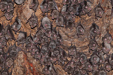 Halcyon Horseshoe Bat (Rhinolophus alcyone) group roosting, Sine-Saloum, Gambia  -  Roland Seitre