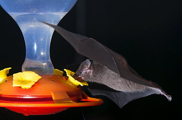 Pallas' Long-tongued Bat (Glossophaga soricina) feeding from nectar at hummingbird feeder, Monteverde Cloud Forest Reserve, Costa Rica  -  Roland Seitre