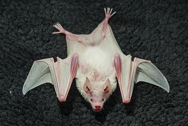 Seba's Short-tailed Bat (Carollia perspicillata) albinistic individual  -  Roland Seitre