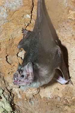 Vampire Bat (Desmodus rotundus)  -  Roland Seitre