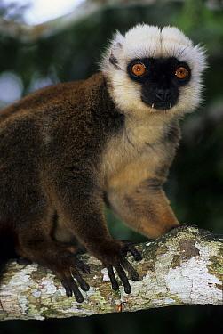 White-fronted Brown Lemur (Eulemur fulvus albifrons)  -  Roland Seitre