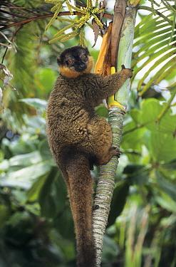 Collared Brown Lemur (Eulemur collaris)  -  Roland Seitre