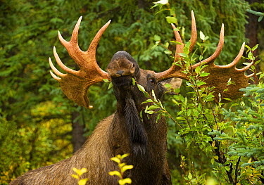 Moose (Alces alces) male feeding on leaves, North America  -  Mark Raycroft