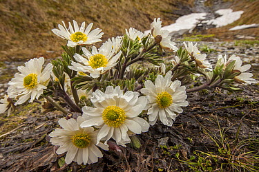 Buttercup (Ranunculus sp), Cascade Saddle, Mount Aspiring National Park, Otago, New Zealand  -  Colin Monteath/ Hedgehog House