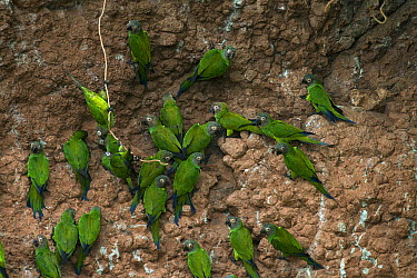 Dusky-headed Parakeet (Aratinga weddellii) flock at clay lick, Napo River, Yasuni National Park, Ecuador  -  Murray Cooper