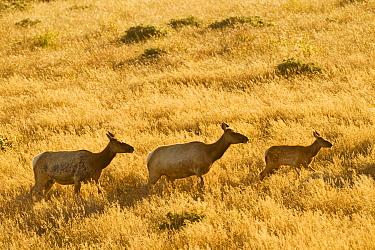 Tule Elk (Cervus elaphus nannodes) females and calf walking through grassland, Point Reyes National Seashore, California  -  Sebastian Kennerknecht