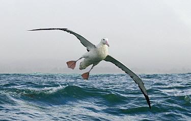 Gibson's Albatross (Diomedea antipodensis gibsoni) landing on water, Kaikoura, South Island, New Zealand  -  Sebastian Kennerknecht