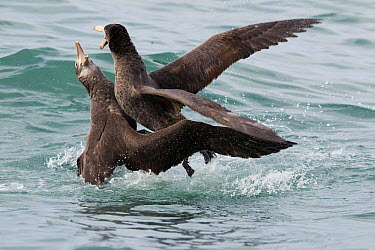 Northern Giant Petrel (Macronectes halli) pair fighting, Kaikoura, South Island, New Zealand, sequence 3 of 5  -  Sebastian Kennerknecht