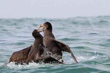Northern Giant Petrel (Macronectes halli) pair fighting, Kaikoura, South Island, New Zealand, sequence 4 of 5  -  Sebastian Kennerknecht