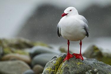 Red-billed Gull (Larus scopulinus) during rain storm, Kaikoura, South Island, New Zealand  -  Sebastian Kennerknecht