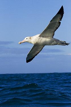 Gibson's Albatross (Diomedea antipodensis gibsoni) gliding over ocean, Kaikoura, South Island, New Zealand  -  Sebastian Kennerknecht