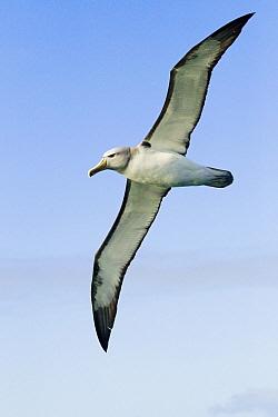 Salvin's Albatross (Thalassarche salvini) flying, Kaikoura, South Island, New Zealand  -  Sebastian Kennerknecht