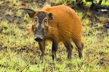 Red River Hog (Potamochoerus porcus) male, Lope National Park, Gabon  -  Sebastian Kennerknecht