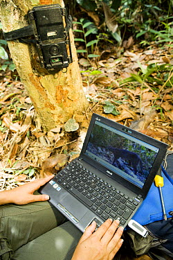 African Golden Cat (Profelis aurata) biologist Laila Bahaa-el-din looking at camera trap image of African Golden Cat, Lope National Park, Gabon  -  Sebastian Kennerknecht