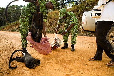 Gray-cheeked Mangabey (Lophocebus albigena) being pulled out of bag by National Park guard during illegal bushmeat seizure, Lope National Park, Gabon  -  Sebastian Kennerknecht