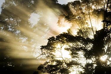 Sunbeams penetrating through lowland rainforest canopy, Tawau Hills Park, Sabah, Borneo, Malaysia  -  Sebastian Kennerknecht