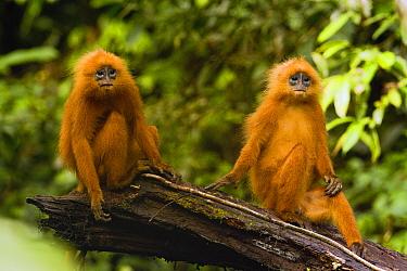 Red Leaf Monkey (Presbytis rubicunda) female and male, Tawau Hills Park, Sabah, Borneo, Malaysia  -  Sebastian Kennerknecht