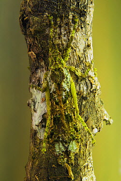 Stick Insect (Phasmatidae) camouflaged on sapling, Tawau Hills Park, Sabah, Borneo, Malaysia  -  Sebastian Kennerknecht