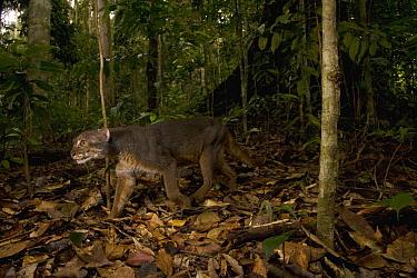 Bay Cat (Pardofelis badia) gray morph male in lowland rainforest, Tawau Hills Park, Sabah, Borneo, Malaysia  -  Sebastian Kennerknecht