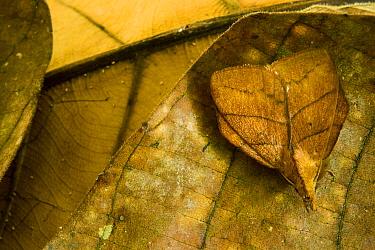 Tent Caterpillar Moth (Lasiocampidae) camouflaged on leaf litter, Tawau Hills Park, Sabah, Borneo, Malaysia  -  Sebastian Kennerknecht