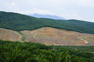 African Oil Palm (Elaeis guineensis) plantations and clear cut for new planting, Sabah, Borneo, Malaysia  -  Sebastian Kennerknecht