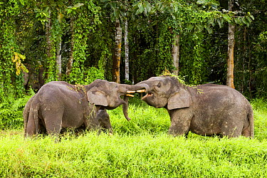 Borneo Pygmy Elephant (Elephas maximus borneensis) males play-fighting, Kinabatangan River, Sabah, Borneo, Malaysia  -  Sebastian Kennerknecht