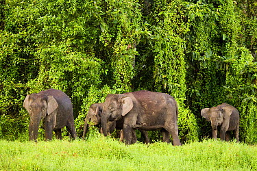 Borneo Pygmy Elephant (Elephas maximus borneensis) herd in secondary lowland rainforest, Kinabatangan River, Sabah, Borneo, Malaysia  -  Sebastian Kennerknecht
