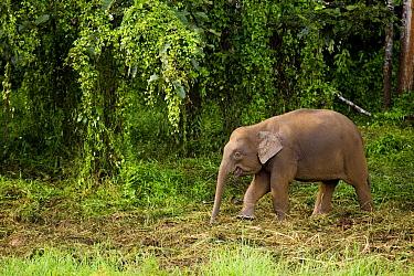 Borneo Pygmy Elephant (Elephas maximus borneensis) calf, Kinabatangan River, Sabah, Borneo, Malaysia  -  Sebastian Kennerknecht
