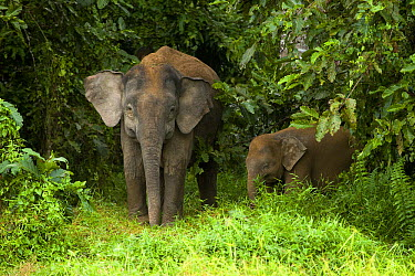 Borneo Pygmy Elephant (Elephas maximus borneensis) mother and calf, Kinabatangan River, Sabah, Borneo, Malaysia  -  Sebastian Kennerknecht