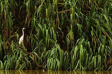 Great Egret (Ardea alba), Kinabatangan River, Sabah, Borneo, Malaysia  -  Sebastian Kennerknecht