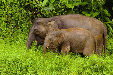Borneo Pygmy Elephant (Elephas maximus borneensis) mother and calf grazing, Kinabatangan River, Sabah, Borneo, Malaysia  -  Sebastian Kennerknecht