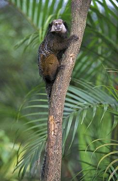 Kuhl's Marmoset (Callithrix kuhlii) adult, South America  -  Roland Seitre