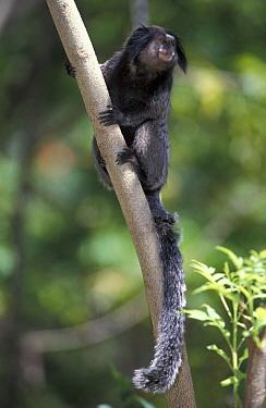 Black Tufted-ear Marmoset (Callithrix penicillata) adult, South America  -  Roland Seitre
