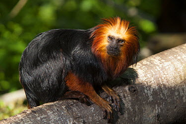 Golden-headed Lion Tamarin (Leontopithecus chrysomelas), La Vallee des Singes Primate Center, Romagne, France  -  Roland Seitre