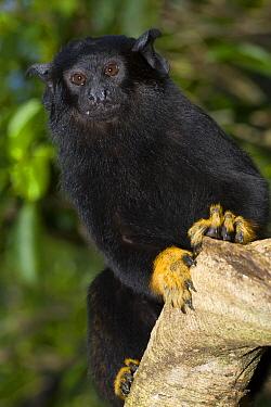 Midas Tamarin (Saguinus midas), breeding facilities at Zoologico del Istmo, Colon, Panama  -  Roland Seitre