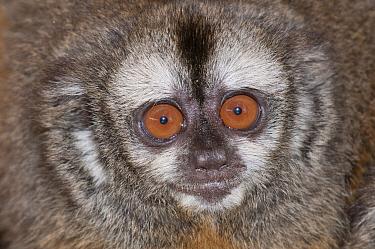 Peruvian Night Monkey (Aotus micronax) showing large eyes, Huachipa Zoological Park, Lima, Peru  -  Roland Seitre