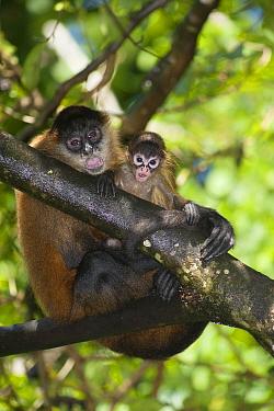 Black-handed Spider Monkey (Ateles geoffroyi) mother and juvenile, Reserva Biologica Bosque Escondido, Peninsula de Nicoya, Costa Rica  -  Roland Seitre