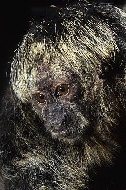 Bald-faced Saki (Pithecia irrorata)  -  Roland Seitre