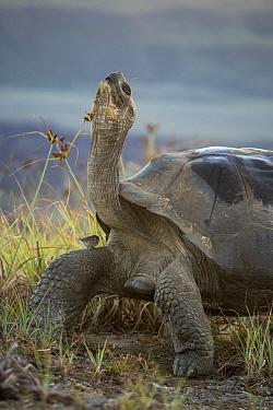 Volcan Alcedo Giant Tortoise (Chelonoidis nigra vandenburghi), Alcedo Volcano, Isabela Island, Ecuador  -  Tui De Roy